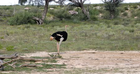 pštros : big bird Ostrich, Struthio camelus, in green Kalahari after rain season. Kgalagadi National Park, South Africa wildlife safari