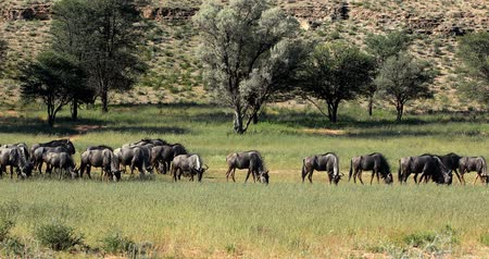 savanna : herd of Wild Blue Wildebeest Gnu in Kalahari, green desert after rain season. Kgalagadi Transfrontier Park, South African wildlife safari