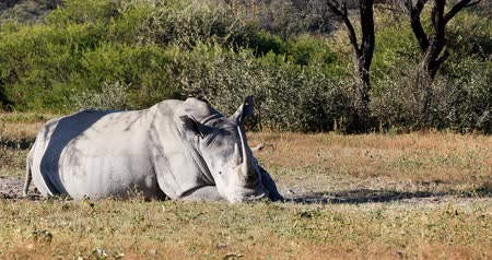 Resting white rhinoceros under acacia tree in Khama Rhino Sanctuary reservation, Botswana safari wildlife Стоковые видеозаписи