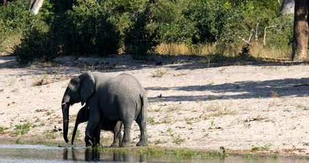marfim : Female African elephant with baby, Loxodonta on waterhole in Bwabwata, Caprivi strip game park, Namibia, Africa safari wildlife and wilderness