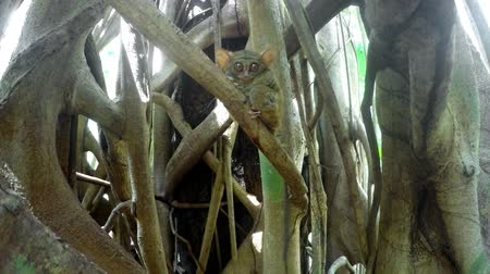 spektrální : very rare Spectral Tarsier, Tarsius spectrum, Tangkoko National Park, North Sulawesi, Indonesia, the worlds smallest primate, true wildlife