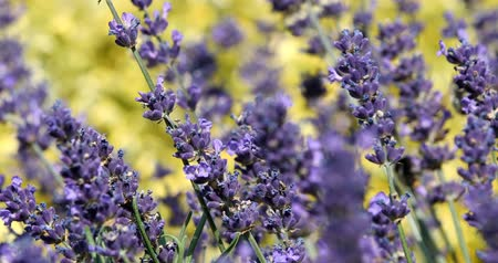levandule : summer lavender flower in garden, close up with shallow focus. Summer background Dostupné videozáznamy