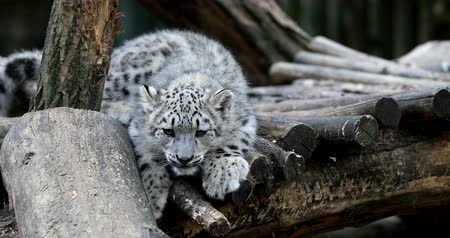 panthers : playful baby kitten of cat Snow Leopard, Irbis, Uncia Unca