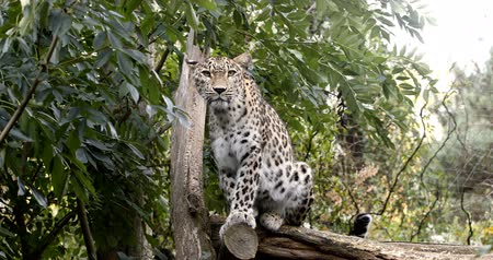 pardus predator : Ceylon Sri Lankan leopard (Panthera pardus kotiya), Cat was listed as Endangered on the IUCN Red List