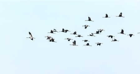 stěhovavý : flying flock of Common Crane, Migration in the Hortobgy National Park, Hungary, is one of the largest meadow and steppe ecosystems in Europe Dostupné videozáznamy