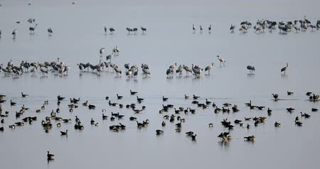 naturalmente : Cocktail of Common Crane on Lake, Migration in the Hortobgy National Park, Hungary, is one of the largest meadow and steppe ecosystems in Europe Vídeos