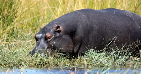 hippo : big hippo (Hippopotamus amphibius) in natural habitat, graze on ashore of the river bank. Moremi, Okawango delta, Botswana Stock Footage