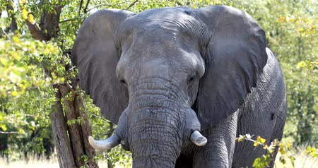 fil : Majestic African Elephant in natural habitat in Moremi game reserve, Botswana safari wildlife Stok Video