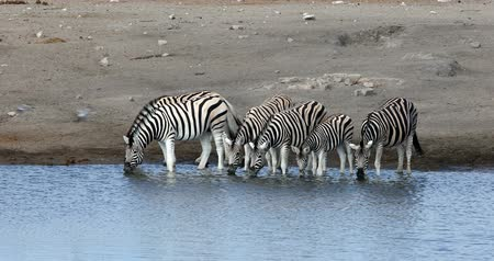 senhor : Burchells zebra drinking from the waterhole in Etosha National Park, Namibia wildlife wildlife safari Vídeos