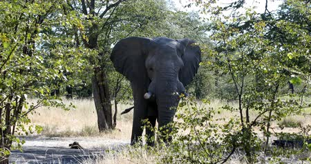 marfim : Majestic African Elephant in natural habitat in Moremi game reserve, Botswana safari wildlife Stock Footage