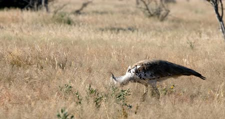 namibya : Big bird Kori bustard in the African bush, Etosha national park, Namibia, Africa Stok Video