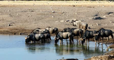 Намибия : wild Blue Wildebeest Gnu drinking from waterhole in Etosha, Namibia Africa wildlife safari. African scenery in natural habitat