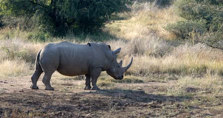 white rhino : White rhinoceros on waterhole in Pilanesberg National Park & ??Game Reserve, South Africa safari wildlife
