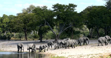 Намибия : herd of African elephant with babies, Loxodonta going to waterhole in Bwabwata, Caprivi strip game park, Namibia, Africa safari wildlife and wilderness Стоковые видеозаписи