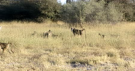 zimbabwe : monkey Chacma Baboon (Papio anubis) family in african savanna, Bwabwata Caprivi strip game park, Namibia, Africa safari wildlife