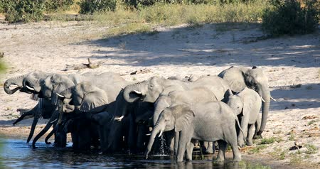 namibya : herd of African elephant with babies, Loxodonta going to waterhole in Bwabwata, Caprivi strip game park, Namibia, Africa safari wildlife and wilderness Stok Video