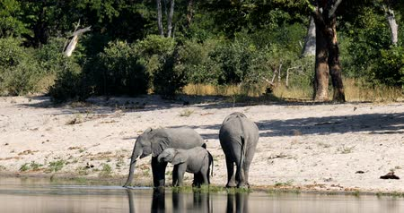 buzağı : family of African elephant with babie, Loxodonta going to waterhole in Bwabwata, Caprivi strip game park, Namibia, Africa safari wildlife and wilderness