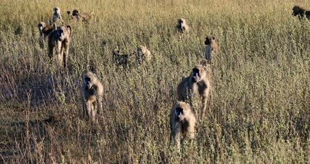 teszi : monkey Chacma Baboon (Papio anubis) family in african savanna, Bwabwata Caprivi strip game park, Namibia, Africa safari wildlife
