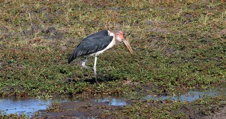 аист : big scavenger Marabou storks (Leptoptilos crumeniferus), big wading bird in the stork family Ciconiidae in the Chobe National Park, Botswana, Africa safari wildlife