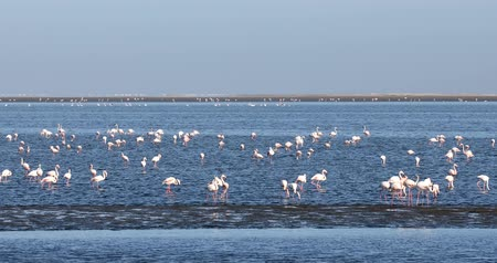 lesser : beautiful Rosy Flamingo Colony in Walvis Bay Reserve, Namibia, Africa Safari Wildlife