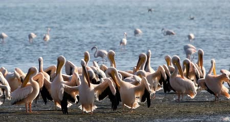 pelicans : Pink-backed pelican and rosy flamingo colonies in Walvis bay, Namibia safari wildlife Stock Footage