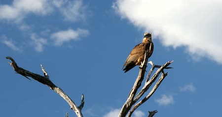 tawny : tawny eagle (Aquila rapax), big bird of prey in natural habitat, Moremi game reserve, Botswana Africa safari wildlife