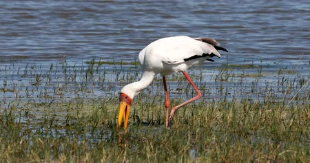 namibya : big bird Yellow-billed stork (Mycteria ibis) catch small fish in beak, Moremi game reserve Botswana, Africa wildlife