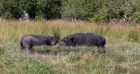 tusk : Hippopotamus Hippopotamus in the natural habitat of the Okavango River. National Park Moremi, Okawango, Botswana Africa Safari Wildlife