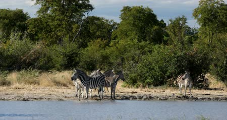 costela : Zebras in african bush on waterhole. Moremi game reserve, Botswana, Africa safari wildlife