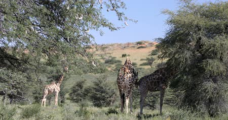 namibya : cute Giraffes in Kalahari, one urinate, green Kalahari desert after rain season. Kgalagadi Transfrontier Park, South African wildlife safari Stok Video