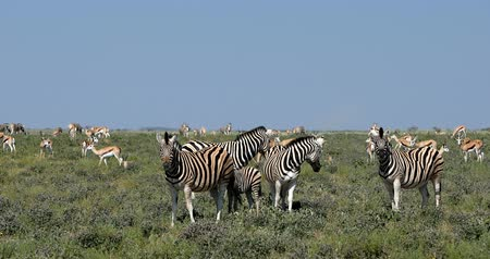 senhor : herd of Burchells zebra and other wild animals in the African bush, Etosha national park, Namibia Africa wildlife wildlife safari