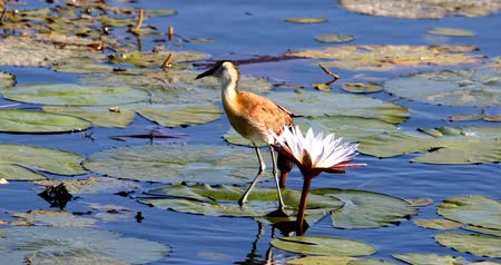 sümbül : middle-sized bird African jacana, Actophilornis africanus, walks among water hyacinth leaves and waterlliy flowers. Looking iside flower for food. Bwabwata, Namibia, Africa safari wilderness Stok Video