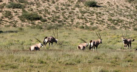 рог : herd of Gemsbok, Oryx gazella in Kalahari, green desert with tall grass after rain season. Kgalagadi Transfrontier Park, South African wildlife safari Стоковые видеозаписи