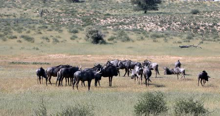 câmara : herd of Wild Blue Wildebeest Gnu in Kalahari, green desert after rain season. Kgalagadi Transfrontier Park, South African wildlife safari