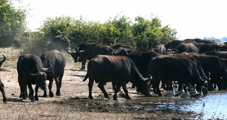 savanna : herd of African Cape Buffalo drinking from Chobe River, Botswana Wildlife Safari