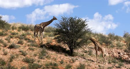 namibya : cute Giraffes grazing in Kalahari green desert after rain season. Kgalagadi Transfrontier Park, South African wildlife safari Stok Video