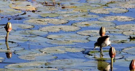 sümbül : African jacana, Actophilornis africanus, walks between water hyacinth leaves and waterlliy flowers. Looking iside flower for food. Bwabwata, Namibia, Africa safari wilderness