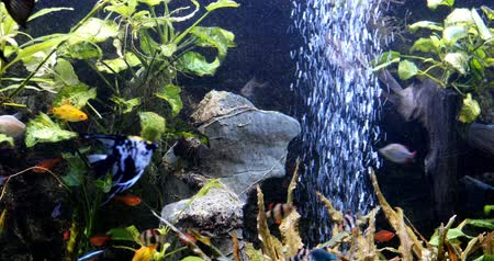 пресноводный : school of freshwater fish, scalar in the aquarium. underwater plants algae