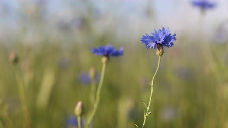chabry : Beautiful blue Cornflower Centaurea cyanus. Beautiful flowers with blue bloom in summer meadow, summer agriculture concept and landscape with blue sky. Wideo