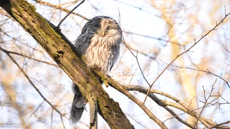 uil : Ural owl sitting on a branch and napping (Strix Uralensis) Stockvideo