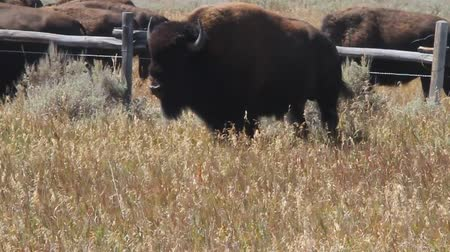 mother cow : Bison in yellowstone