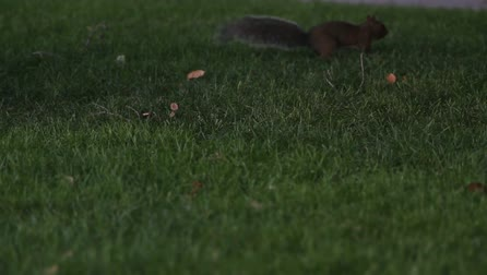 orzechy : squirrel Wideo