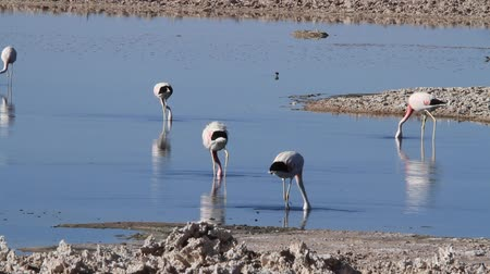 flamands roses : Flamants sauvages