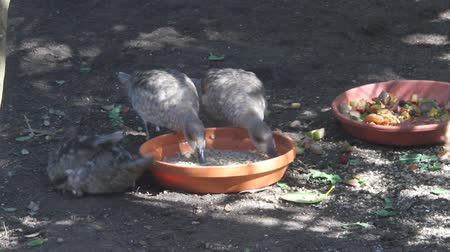 foods : Birds eating and drinking from plate