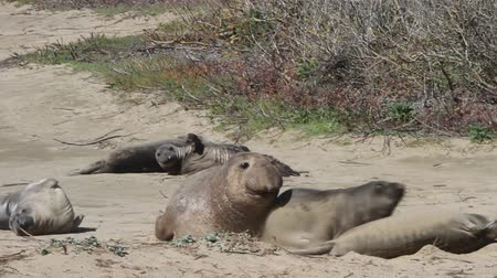 páření : Elephant Seals on the beach