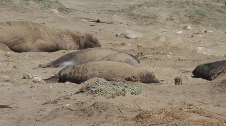çiftleşme : Elephant Seals on the beach
