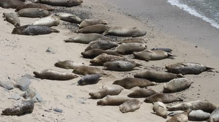 çiftleşme : Elephant seals  and sea lions on the beach