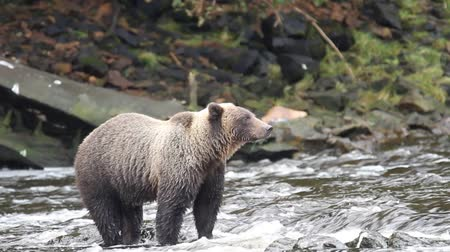 patak : Bears in Alaska