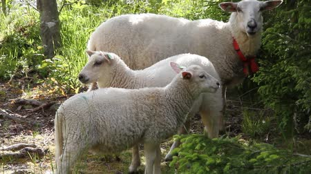 toison : Moutons Europe,
