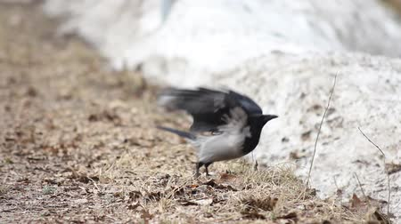 corvo : Crow taking off, at spring